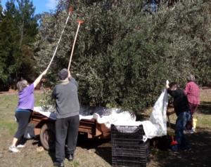 Fruit Squad hard at work racking olives in Mount Helena